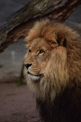 Löwen - Tierpark Hagenbeck (e-box 65) Tags: animal animals cat zoo tiere hamburg lion lions katze predator tierpark tier hagenbeck löwe löwen raubkatze raubtier