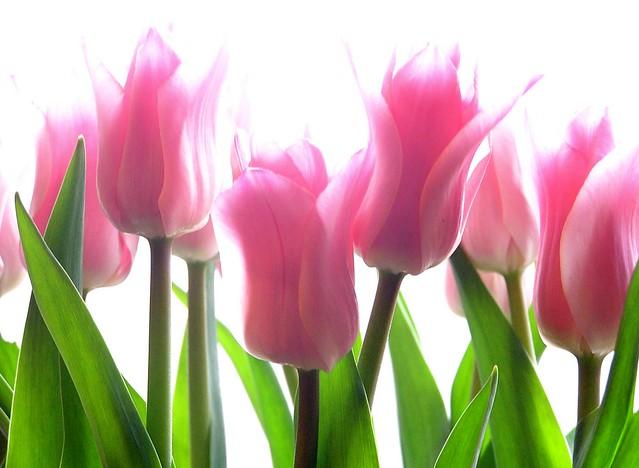 Pink-Tulips-flower-wallpaper-2