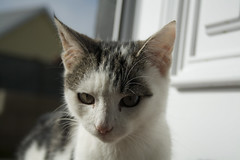 AddieCat (tiki.thing) Tags: cat