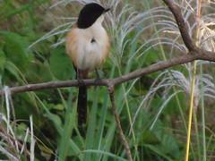 Long-tailed Shrike, Lanius Schach (asterisktom) Tags: longtailedshrike shrike laniusschach tripthaiphil20142015 thailand december 2014 sukhothai bird vogel ave 鸟 niao птица 鳥