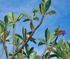 Kauai  at Princeville. (LBtino) Tags: kauai frangipani poipu hanaleibay plumeriarubra redcrestedcardinal huladance waimeagrandcanyon exotichawaiiantropicalflowers