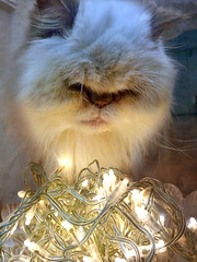 Ruby celebrating her 15th birthday (jjamv) Tags: pet cats cute texture animal cat persian eyes kitten kat feline chat soft longhair kitty fluffy kittens whiskers explore gato gata meow katze ruby gatto kater cutecats textured pedigree pasaporte petportrait persa longhaired persiancat gati cutekitten kittenpictures tabbypoint animalphotography catswhiskers catpictures colorpoint colourpoint catphotos kittenpics beautifulcats longhairedcat catpics kissablecat bestofcats catsonthescene catmoments lilaccream kittenimages photoofcats pedigreepersiancat jjamv mycatruby julesvtravel lumia930 juliusvloothuis microsoftlumia930