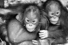 babys at BOS (Marion Staderoli) Tags: travel blackandwhite baby nature animal indonesia monkey report borneo orangutan bos protect deforestation kalimantan palmoil