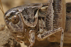 Platycleis species, Rousson (henk.wallays) Tags: france macro nature closeup insect europa wildlife natuur location cricket grasshopper date insekt orthoptera tettigoniidae arthropoda insecte sauterelle 2012 aaaa sprinkhaan cevennes insecta bushcricket longhornedgrasshopper sprinkhanen katydids rousson sabelsprinkhaan tettigoniid bushcrickets platycleis orthoptères sabelsprinkhanen henkwallays platycleisspecies