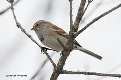 American Tree Sparrow. (Gillian Floyd Photography) Tags: brown tree bird creek branch american sparrow twig grindstone