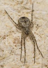 Hersiliidae Tamopsis..? (Allan Lance) Tags: bordertown southaustralia ajl hersiliidae tamopsis twintailspider