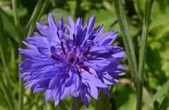 Cornflower (Centaurea cyanus, fiordaliso) (presbi) Tags: flower fiori fleurdelys wildflower fiore cornflower bleuet fiordaliso valdinon fioriselvatici