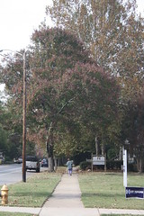 Walking on East Boulevard (lazy south's travels) Tags: city urban usa tree fall america poster charlotte path politics northcarolina american footpath kayhagan dilworthdistrict
