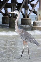 Great Blue Heron (Dan Demczuk) Tags: bird 20d nature birds canon wildlife vogels aves uccelli pjaros pajaros vgel oiseau pjaro uccello chim fglar burung ptaki linnut ptci fugle pasari ptice vtky  osieaux dandemczuk