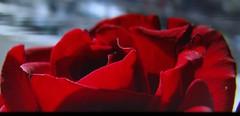 invisible Alma Mater Tubingensis (eagle1effi) Tags: light red macro luz rose rouge licht lumire alma mater supermacro lux luce spd tbingen lumen  ber roterose canonmacro eagle1effi macromix tubingensis naturemasterclass  rosemann effiart sx1best sx1isbest canonpowershotsx1isreferenceshot spdrose effiart2015 studentenliedbertbingen rosemannrose almamatertubingensis studentenlied