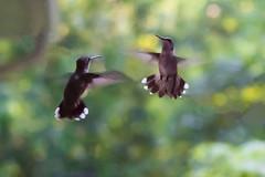 08-14-8270045-Edit.jpg (diane.wehr) Tags: nature birds hummingbird rubythroatedhummingbird 2014