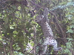 Baby Leopard Hanging