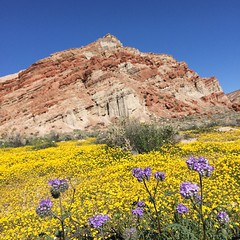 Saturday Morning in Red Rock Canyon State Park (Jeffrey Sullivan) Tags: california square spring desert mojave squareformat wildflowers february redrockcanyonstatepark iphone 2015 iphoneography instagramapp caliparks