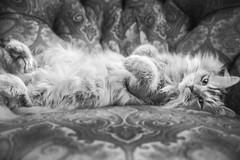 hakuna matata (demerson2) Tags: portrait blackandwhite bw cats white black animal cat portraits canon is monotone usm 6d f4l ef1635mm canon6d