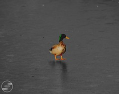 (L.Ulrichs) Tags: orange sunlight green ice yellow duck colorful gelb grn ente eis sonnenlicht