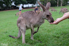 Kangaroo Feeding (dylannlaw) Tags: pine feeding australia brisbane kangaroo lone fujifilm xt1
