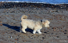Windswept Dog (mootzie) Tags: shadow hairy dog beach walking fur sand tail windy pebbles aberdeen curly collar lhasa breezy apso seablue