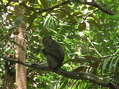 Macaque in a tree