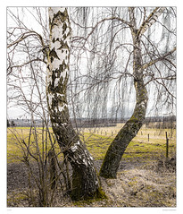 Dancing trees (sdc_foto) Tags: trees color canon germany birch hesse vogelsberg hunched 2015 sdcfoto