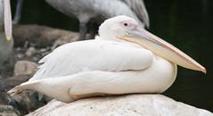 American White Pelican (Merrillie) Tags: jurongbirdpark nikon americanwhitepelican pelican photography birds singapore animals fauna birdsanctuary zoo d5500