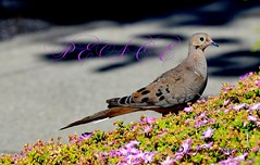MOURNING dove ... (DSC_6567) EXPLORE 7/15/16 (jmaphotography) Tags: france nice peace mourning dove mourningdove remembrance remembering nicefrance