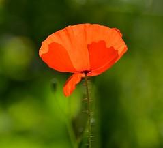 Shine a Light (Edinburgh Photography) Tags: park flower nature landscape outdoors nikon victoria poppy d7000