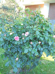 061 (en-ri) Tags: rose roses cespuglio sony sonysti alberello