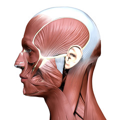 side view of anatomy head model with face muscles (mike499312) Tags: anatomy head muscle face muscular human facial system tendon neck cheek structure masseter eye illustration body man sideview male isolated 3d orbicularis skull science model white health medical nose temporalis zygomaticus aponeurosis occipitofrontalis procerus background render