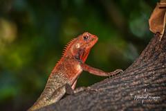 Chameleon In Red (Shahid_Hussain) Tags: chameleon lizard nature reptile tree wildlife alone uttarpradesh india