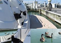 Hissing buddies (ElenaK@Chicago) Tags: hissingbuddies marina harbor northpointmarina winthropharbor