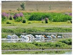 7-11-2016 (7) (Shawnasays31) Tags: oregon pelican americanwhitepelican baskettsloughwildliferefuge
