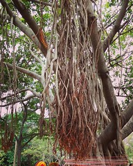 The Banyan Tree ☺ (rituparnadey) Tags: sacredtree spiritual