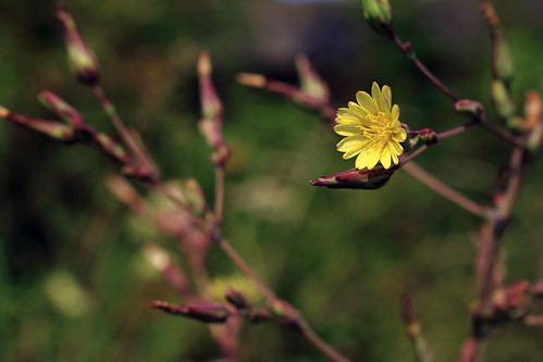 """Gänsedistel (Sonchus) (01) • <a style=""""font-size:0.8em;"""" href=""""http://www.flickr.com/photos/69570948@N04/28100915003/"""" target=""""_blank"""">View on Flickr</a>"""