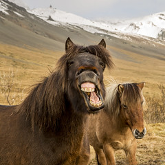 Have you got a toothbrush? (Nick L) Tags: mountain canon eos iceland teeth 5d ponies 2470l icelandic icelandicponies snaefells westiceland snaefellspeninsula 5d3 canon2470li