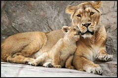 Zoo, in Zurich Switzerland (Tamilpoems (Tamil kavithaigal)) Tags: zrich zrichzoo zurichcity zurich zurichsee animals zoo bern geneva glarus mnnedorf interlaken schweiz suisse swissmountains switzerland europe tiger google lion tiere waldtiere wald