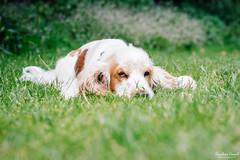 Wee nap in the park (cornilc) Tags: milo dog english cocker spaniel orange roan fluffy outdoor park grass green nature bokeh fujifilm 50140mm fuji xt1