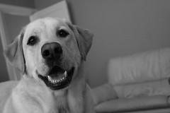 My boy Fred  (amyedwardsmiller) Tags: blackandwhite dog pet cute smile labrador labs