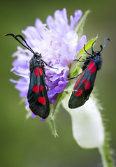 Stor bloddråpesvermer Zygaena lonicerae (Eivind Nielsen) Tags: macro lepidoptera sommerfugler zygaenalonicerae storbloddråpesvermer