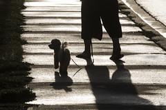 Sudbury Street pedestrian 3 (jer1961) Tags: dog toronto silhouette poodle dogwalker sudburystreet