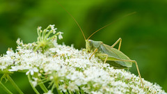 Grasshopper (patrickmai875) Tags: wild white macro green art nature field animal canon insect bokeh kunst ngc natur feld national grasshopper grn makro insekt 70200 hopper f28 6d heuschrecke weis geographics