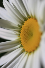 Early Life (Graham Par) Tags: flower garden daisy portrait angle lif life