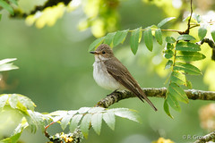 Grauer Fliegenschnpper 3 (rgr_944) Tags: bird animals tiere outdoor natur animaux vgel oiseau vogel canoneos60dcanoneos70d rgr944