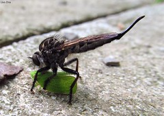 Giant Robber Fly With Prey (Lisa Zins) Tags: lisazins tn tennessee bugs insects robberfly giantrobberfly asilidae promachus diptera hexapoda arthropoda fly giant robber prey