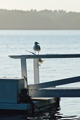 A Seagull Story 03 (smilla4) Tags: dock seagull flight maine merepoint maquoitbay