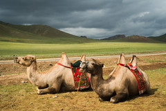 Camels of the Mongolian Steppe (Wild Birdy) Tags: mongolia steppe cute camel camels domesticated humps mammal mammals mountains grasslands clouds storm teeth