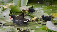 Moorhen - Walton Hall (17) (Malcolm Bull) Tags: 20160728walton0017edited1web walton hall moorhen chicks water lilies