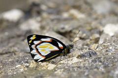 Delias flavistriga flavistriga (Hiro Takenouchi) Tags: pieridae butterfly butterflies nature insect papua delias indonesia