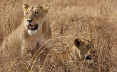 Watching Out For The Weekend (AnyMotion) Tags: lion lwe pantheraleo female lioness lwin cat katze 2015 anymotion ngorongorocrater tanzania tansania africa afrika travel reisen animal animals tiere nature natur wildlife 7d2 canoneos7dmarkii ngc npc