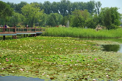 IMG_9122 (猜测) Tags: 北京 海淀区 圆明园 莲花