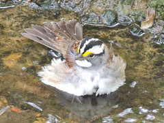 White-throated Sparrow (William Young Fascinations) Tags: bird birds sparrow sparrows passerine passerines animal animals animalia chordata aves passeriformes emberizidae zonotrichia zonotrichiaalbicollis whitethroatedsparrow wtsp taxonomy:binomial=zonotrichiaalbicollis